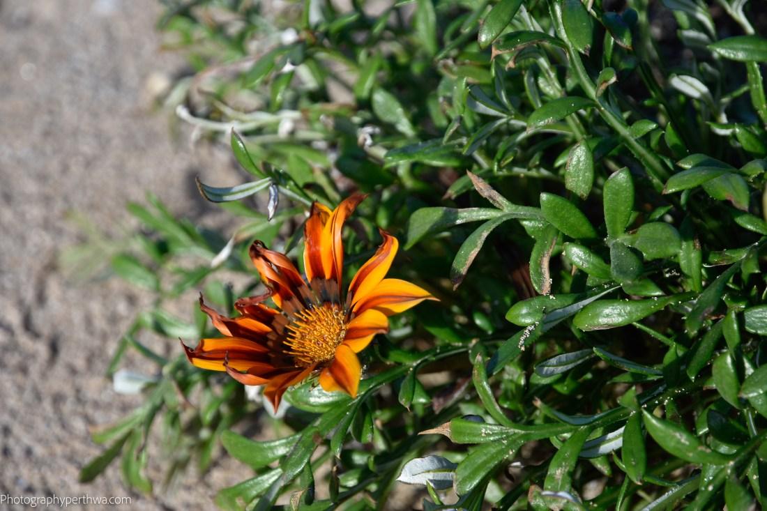 beach flower (1 of 1).jpg
