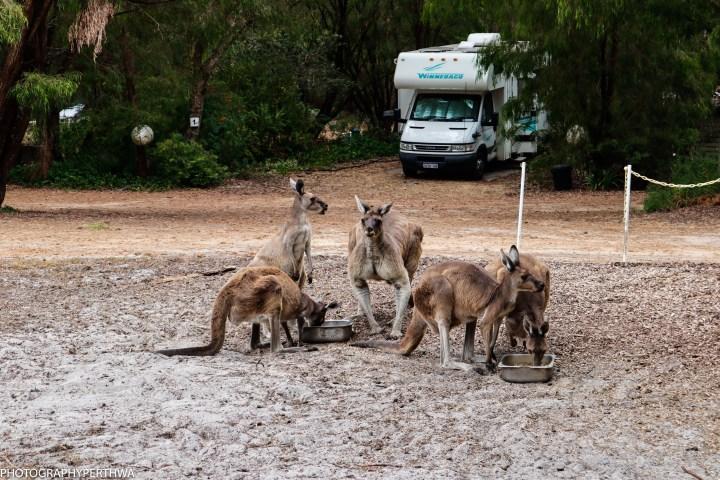 kangaroos (1 of 1)