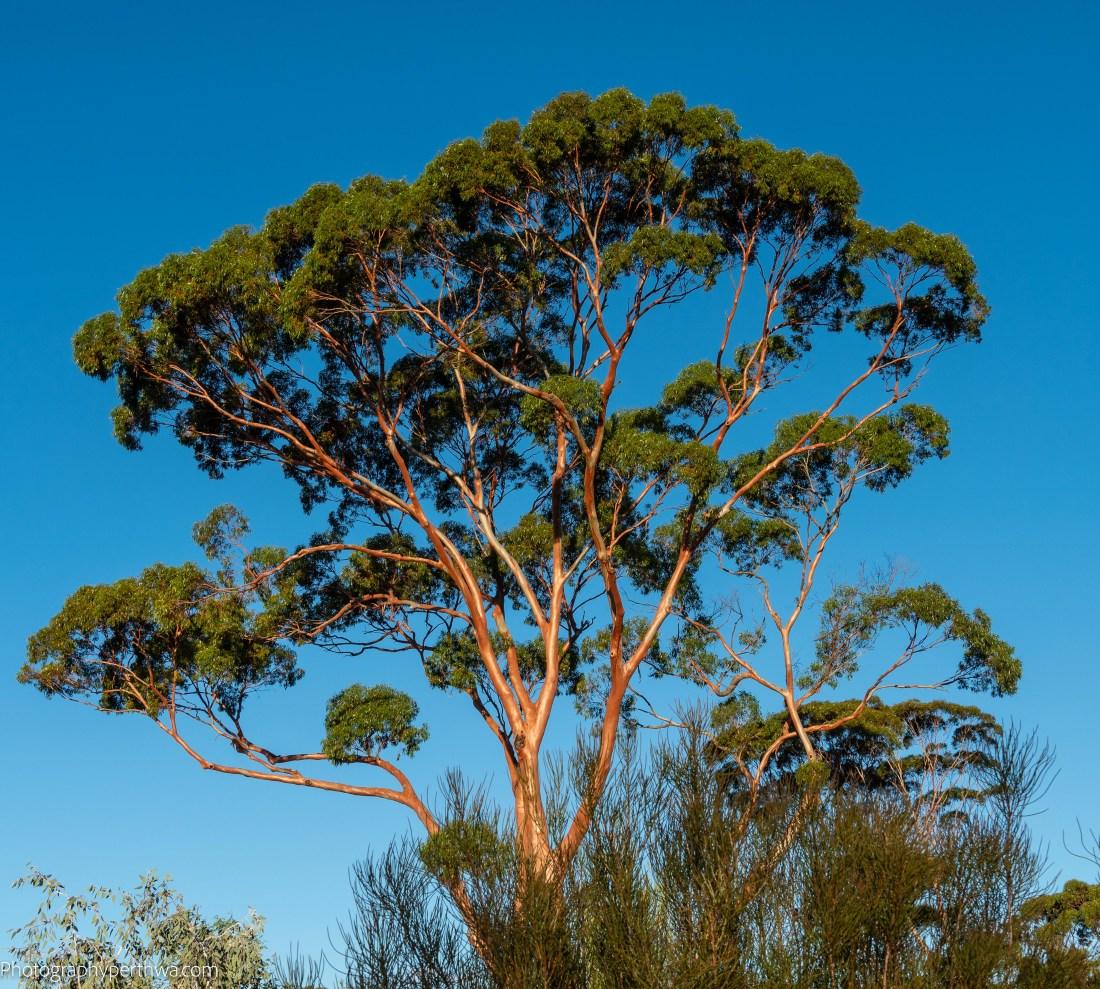 Westonia tree (1 of 1).jpg