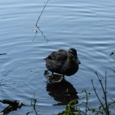 duck (1 of 1)