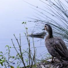 duck3 (1 of 1)