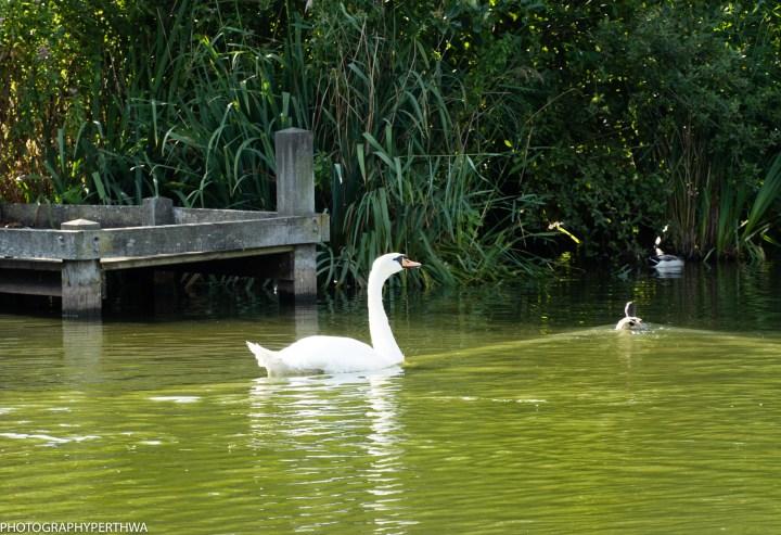 white swan (1 of 1).jpg