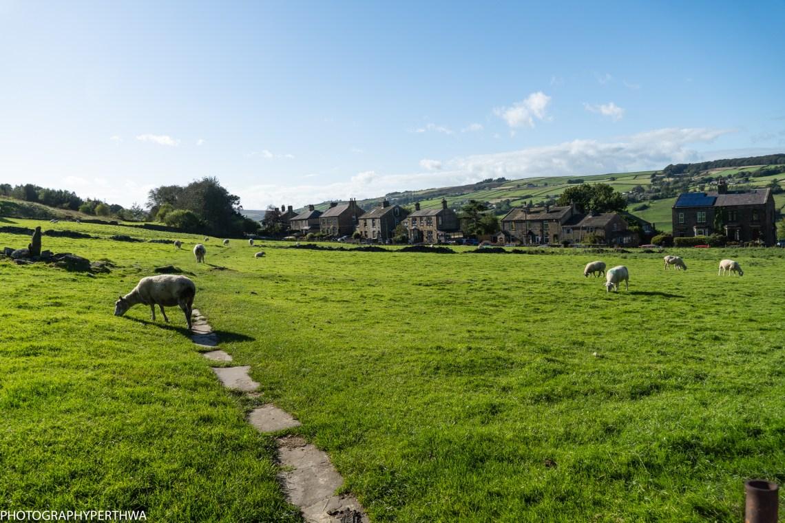 sheep (1 of 1)