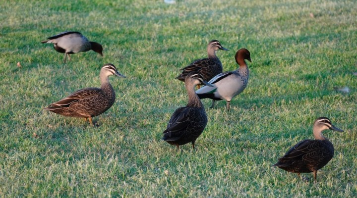 ducks close up - 1