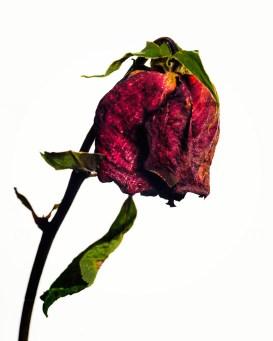 20150906_1688-rose-red-stem_1
