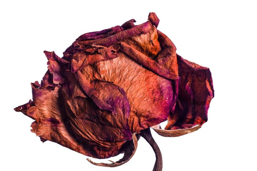 20150908_1823-rose-crab-1