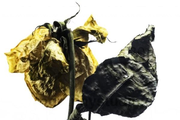 20151120_2833-rose-leaf-1024x683