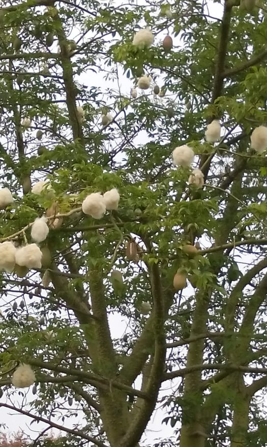 Interesting tree I spotted on the bike ride home.  I wondered what this tree with the cottony pods was, so I found out it is the Ceiba speciosa, or silk floss tree..