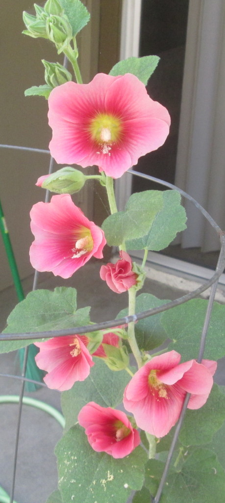 The Pink Hollyhock