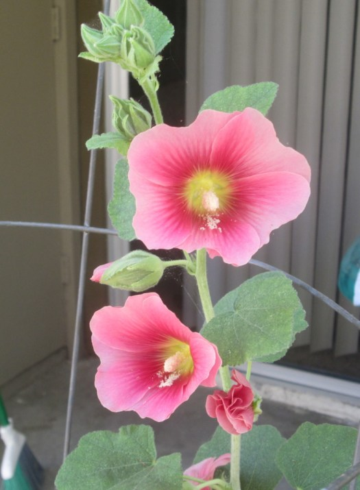 The pink hollyhock now has more blooms.
