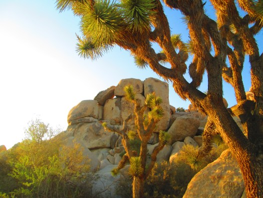 Joshua trees near the boulders. Actually, at Joshua Tree National Park it is pretty common to find Joshua Trees near large rocks.