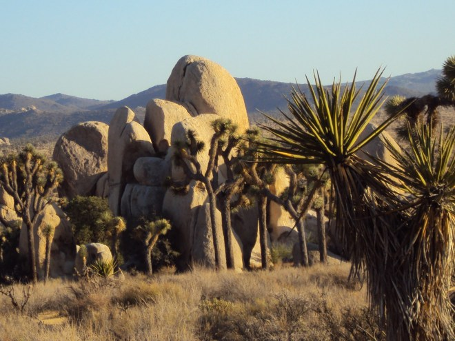 The pointy leaves on a Joshua tree in foreground.