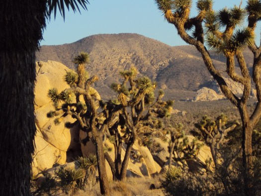 Looking through the Joshua trees.