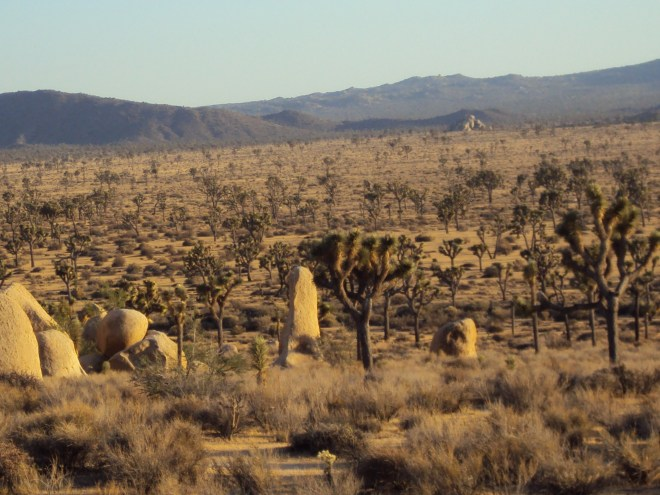 Joshua trees and vertical boulders.