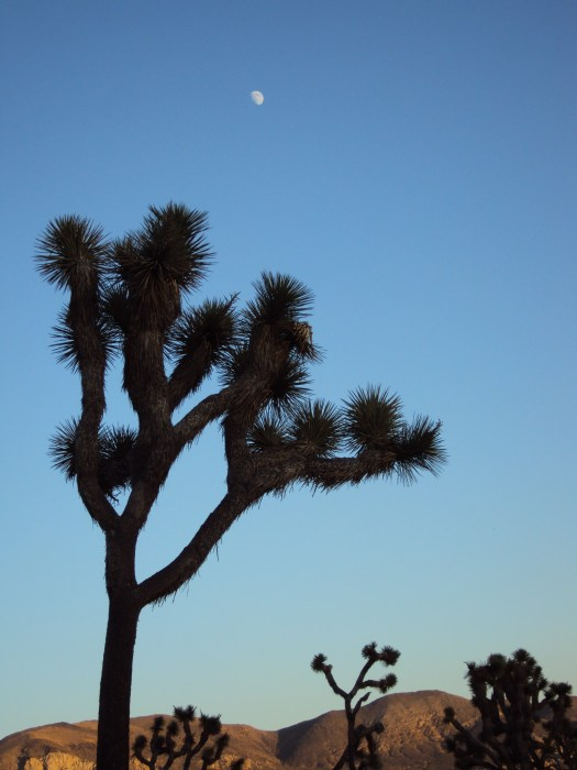 A giant Joshua tree with the moon overhead.