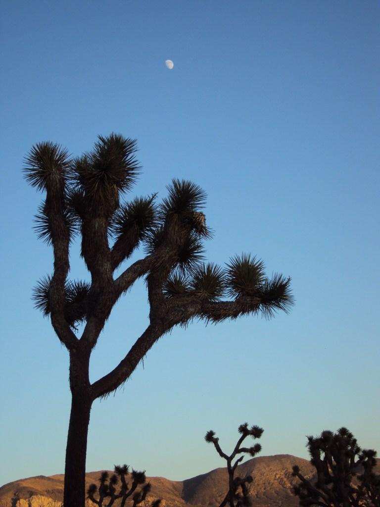 A giant Joshua tree with the moon overhead.