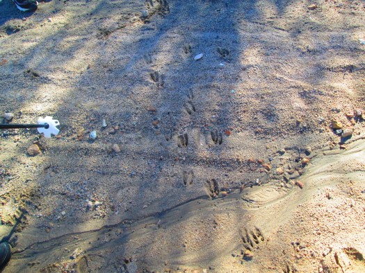 A deer has two cloven hooves, which are visible in the tracks left behind.