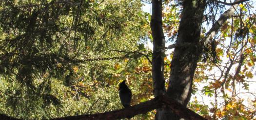 The stellar jay sat on a low branch of the cedar tree.