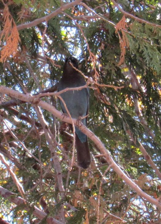 The stellar jay has a black tail.