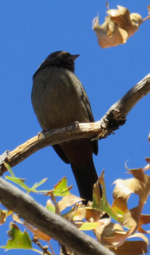 The dark-eye junco bird sitting in a tree.