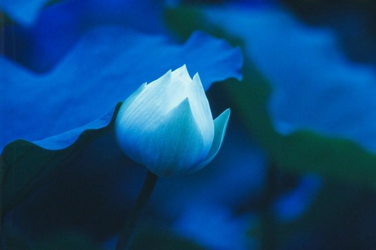 Blue Lotus © Tadayuki Naitoh