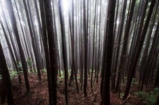 Misty forest Resting (Azores, São Miguel 2011)