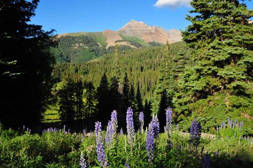 Wild lupine show off in a field below Hesperus Peak, near Durango, Colorado