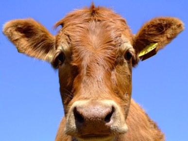 cow3.jpg