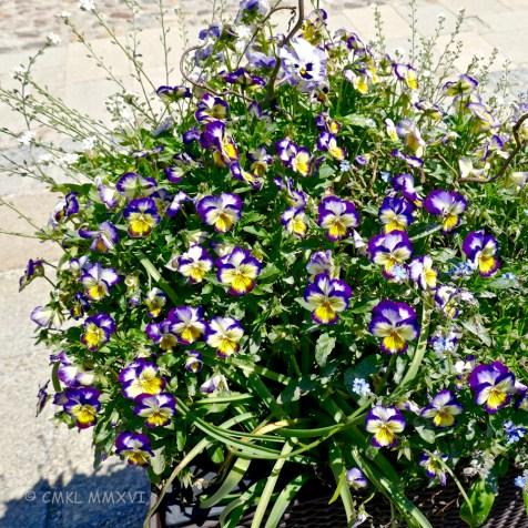 pansies at the Burg Café garden