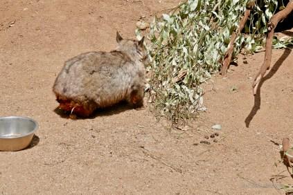 Alert wombat being startled by a shrieking child.