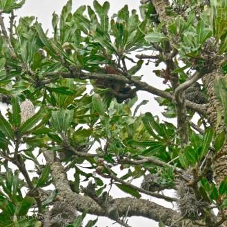 Banksia serrata, Proteaceae, saw-tooth banksia