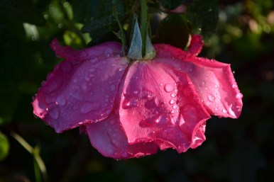 California Rose by Becky DeSantis
