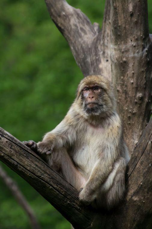 scimmia 006