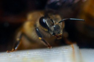 Honeybee closeup, focus on one eye