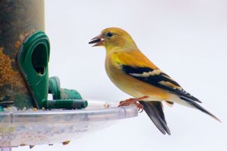 Goldfinch returns 2-21-13