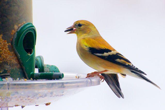 Goldfinch returns 2-21-13