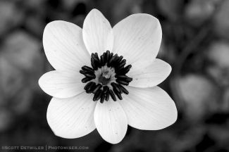 Bloodroot, black replaces yellow