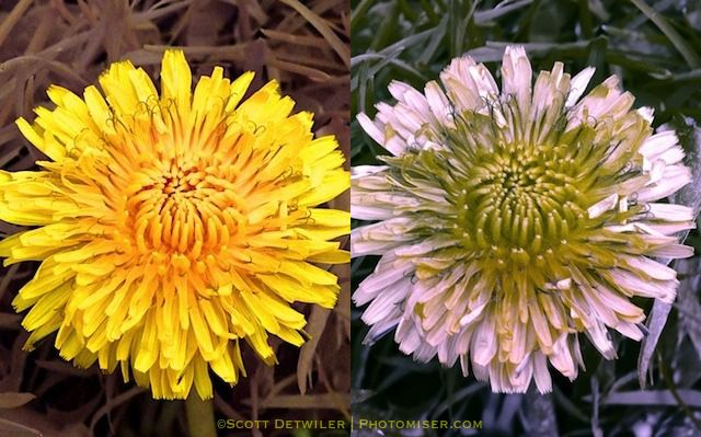 Dandelion, two images, left normal, right shows contrasting center visible only in ultraviolet light Dandelion, taken with a full spectrum camera unfiltered on left, filtered with a UV-pass filter on right