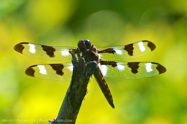 Twelve-spot Dragonfly, Space Plane Stance