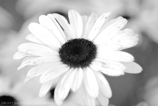 Black-eyed Daisy