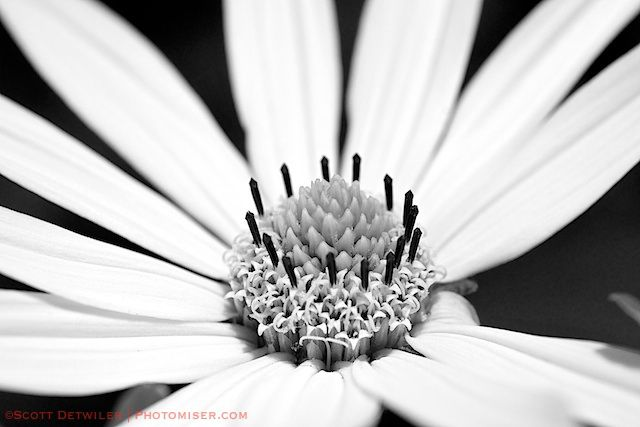Smooth Oxeye, red filter