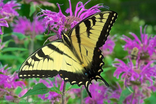 Tiger swallowtail on Monarda