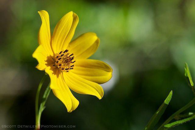 Tickseed Sunflower in evening light