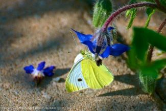 Cabbage White Butterfly (Pieris rapae)