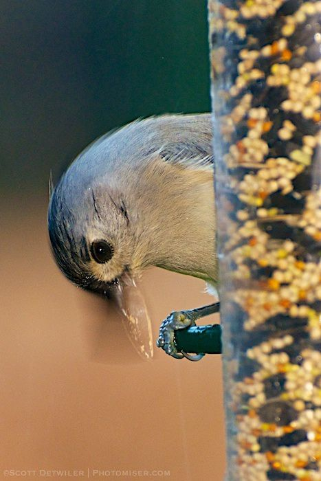 Tufted Titmouse with sunflower seed on bird feeder