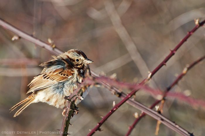 Sparrow in the morning light, feathers ruffled