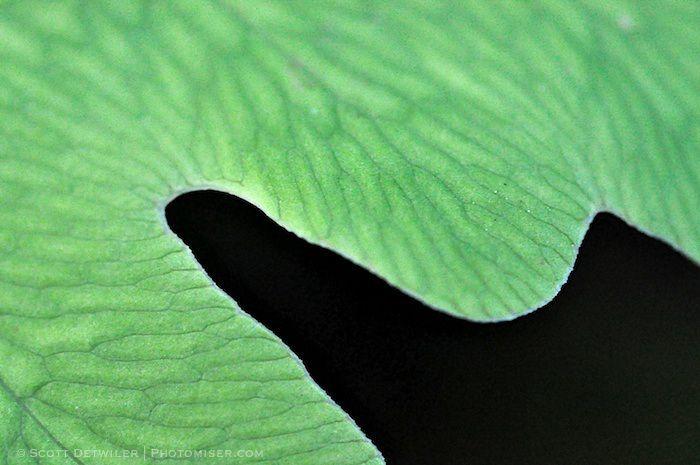 Sensitive Fern margin