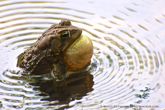 Toad Ripples Two