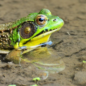 Green Frog, Rana clamitans