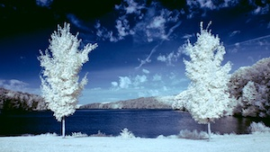 Two trees in infrared
